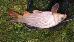 Nice condition shiny carp