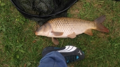 Real nice chunky carp about 16 lb