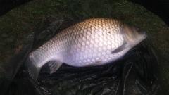 Fat little 5lb common