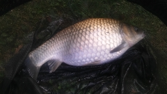 Fat little 5lb common