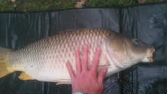 Huge 23 lb common