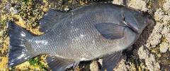 Rock blackfish 51cm