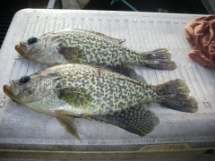 "Caught some 10-to 12 1/2"" crappie"