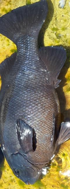 Rock blackfish 62cm 7kgs