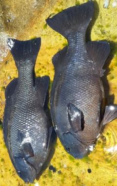 Rock blackfish
