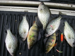 Crappie and yellow perch