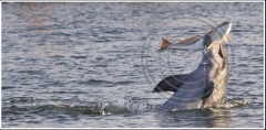 Dolphin with redfish