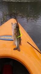 Guadalupe bass