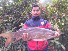 Rare Asian Golden LABEO ROHITA / Rohu of 15 lbs. This beast gave a great game.