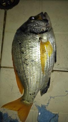 Yesterday s catch at dammam Cornish