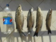 Mullet (mullets) good catch