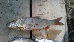 Fishing šljivara, skobalja.