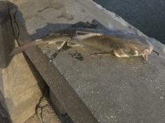 Catfish again from Cornish...Sigh!!!