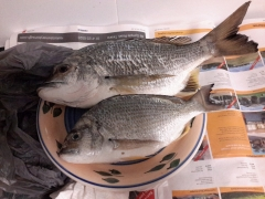Yellowfin Bream....again,..end of Urangan Pier