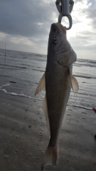 Caught several Whiting the largest being 16 inches