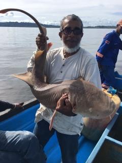 50lb shark