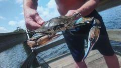 Monster Blue Crab Jacksonville Florida