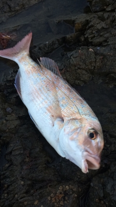 Caught at Waipu cove