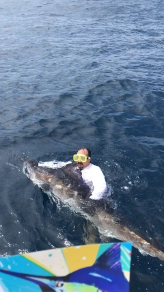 Striped Marlin  release