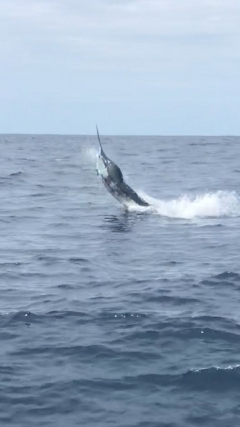 Marlin where hungry