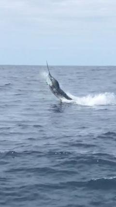 Marlin where hungry