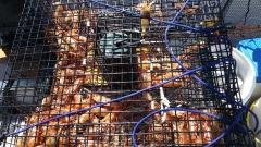 Spot shrimp