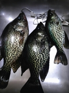 Crappie are in!