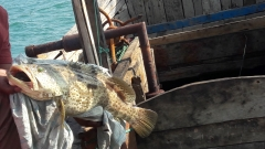 Grouper from Bay of Bengal