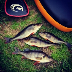 todays perch fishing at lake Mahinapua, Westcoast New Zealand
