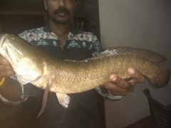 Snakehead(murrel)channa striata