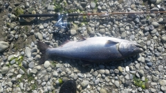 Chinook aka. King Salmon