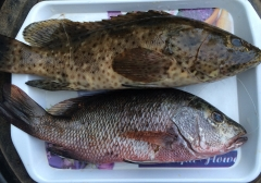 Mangrove jack and grouper