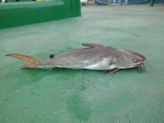 Catfish, 2Kg
