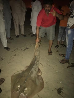 38 KG of Guitar Shark Catch at Jubail Beach_11-04-2019