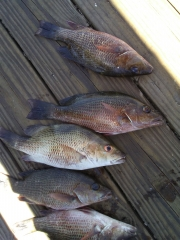 Mangrove snapper near port charlotte