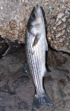 "Striped bass (only 23"")"