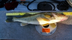 Mississippi River Walleye