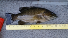 Mississippi River Smallmouth