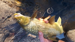 Natal yellowfish