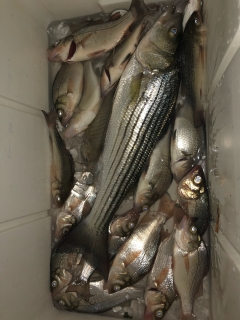 20 inch striper.white perch.spot and croaker