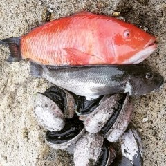 Red moki, Blue cod, Paua(Abalone), Green shells