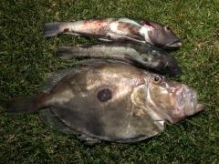 John Dory and Blue Cod caught kayak fishing on soft plastics