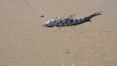 Lepord shark