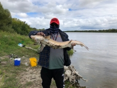 3' sturgeon at Selkirk Manitoba