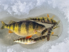 6 perch in 2 hours