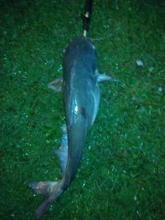 12 lb blue cat